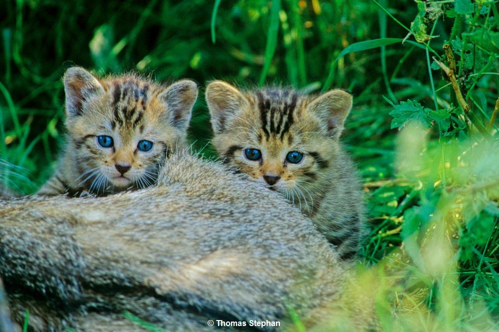 Achtung Nachwuchs: Wildkätzchen bitte nicht mitnehmen