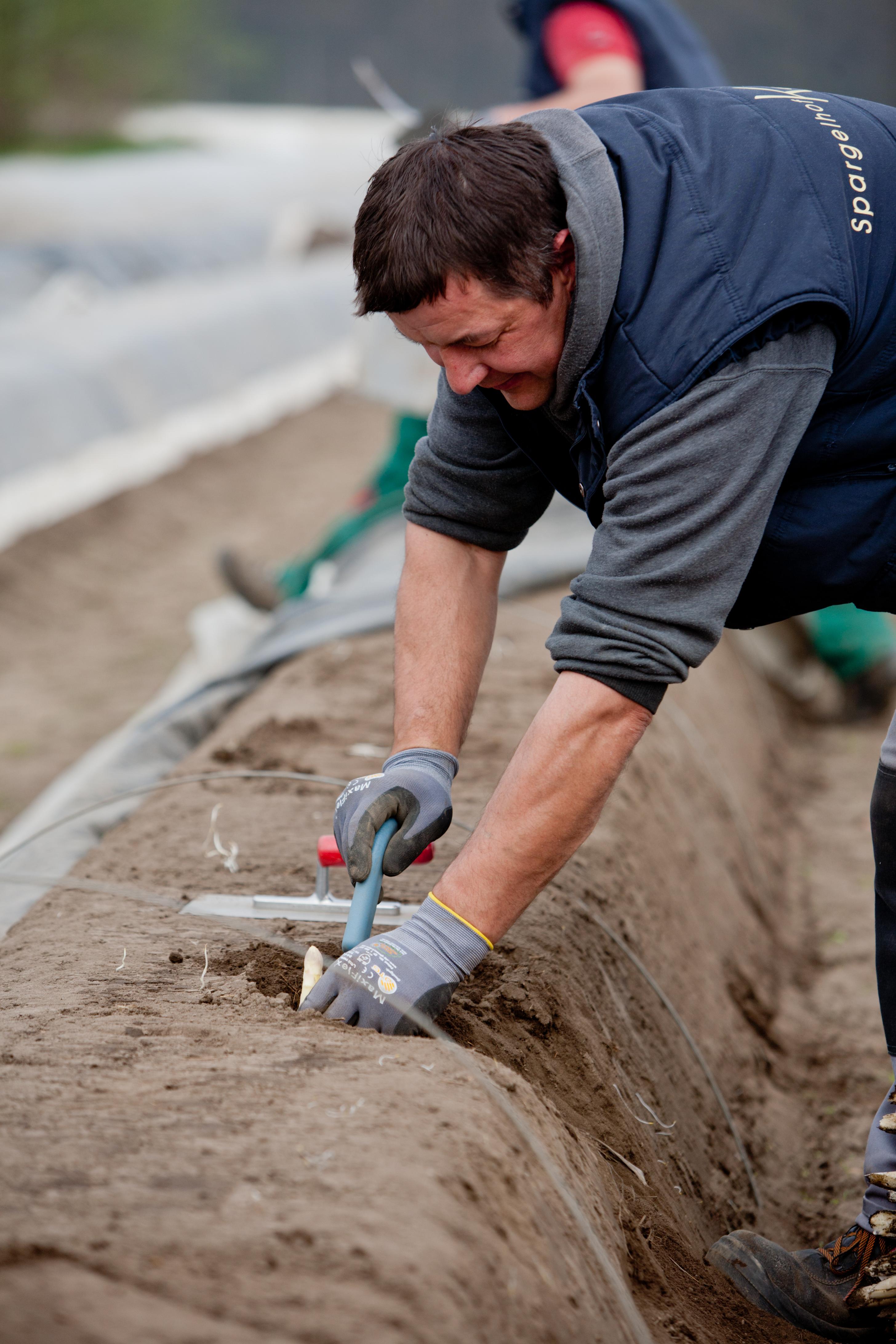 Hygienekonzepte der Spargelbauer greifen – die Ernte des Edelgemüses ist gesichert